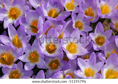 First spring flowers - purple crocus. Spring background - stock photo