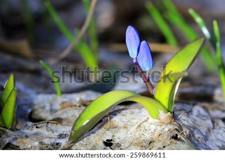 first spring flowers - Scilla Bifolia - stock photo