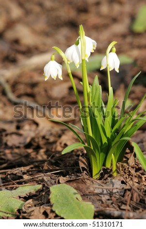 First spring flowers - snowdrop - stock photo