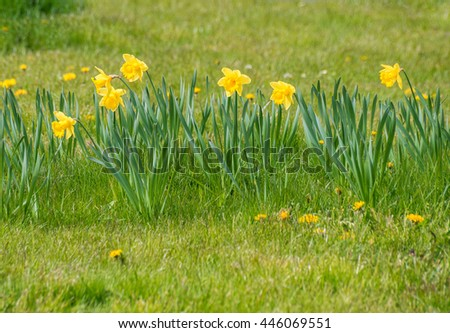 First spring green meadow grass field yellow daffodil narcissus flower plant easter day - stock photo
