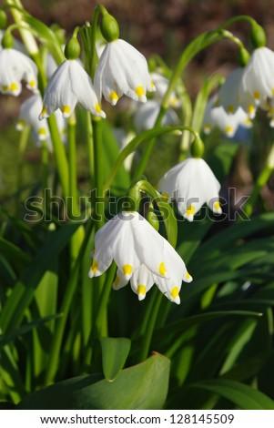 First spring snowdrop flowers in the garden. - stock photo