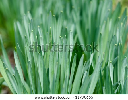 First spring tulip leaves, shallow depth of field - stock photo