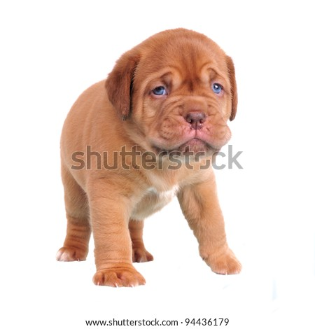 First steps of Dogue De Bordeaux puppy - stock photo