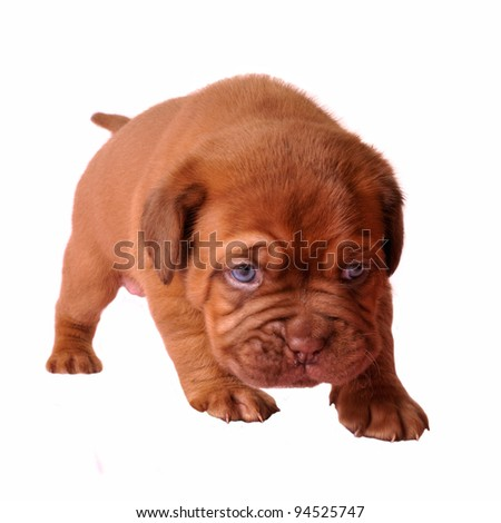 First steps of newborn puppy isolated