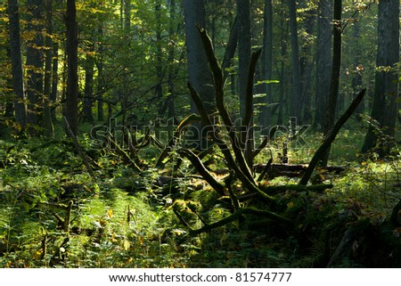 First sun rays of summer morning entering deciduous hornbeam stand rain after with hornbeams in foreground - stock photo