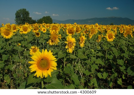 First sunflower in a  row - stock photo