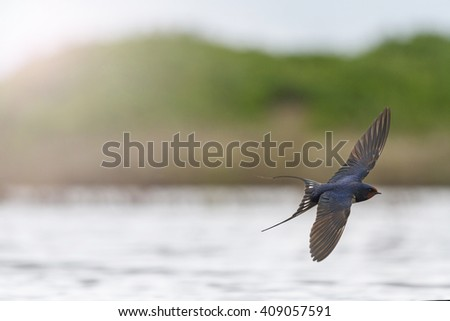 first swallow in flight over the water with sunny hotspot the first step, migration of birds, the first spring bird swallow - stock photo