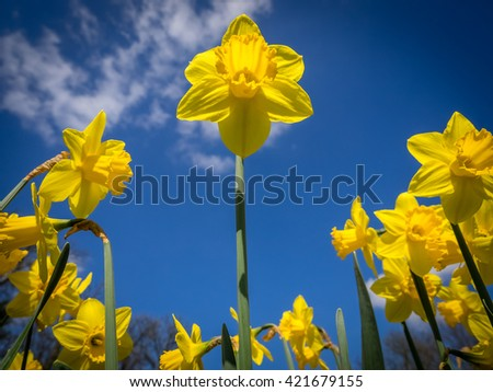 First yellow daffodils blooming in spring in the park - stock photo