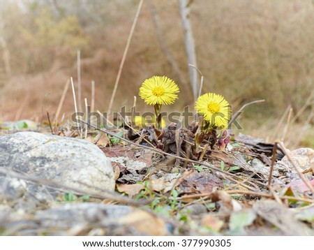 Firsts flowers dandelion  sprout in spring forest. Awakening of nature. - stock photo