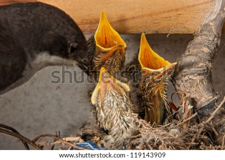 fiscal fly catcher bird nurturing its young chicks in the nest - stock photo