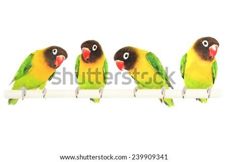 Fischer's lovebird on a white background. Parrot. - stock photo