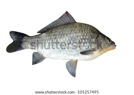 fish a crucian it is isolated on a white background