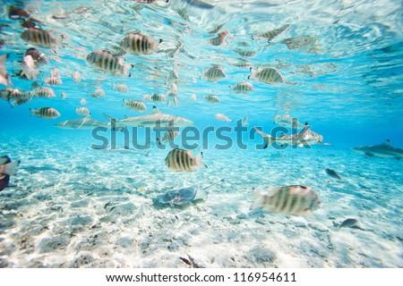 Fish and black tipped sharks underwater in Bora Bora lagoon - stock photo