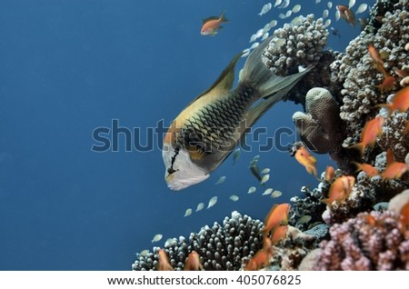 Fish and the Reef in Red Sea, Egypt