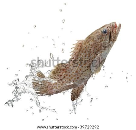 fish and water splash on white background - stock photo