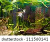 fish angelfish in a tropical fish tank with many plants - stock photo