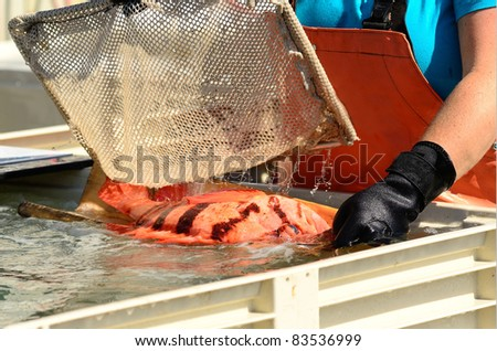 Fish at the Port Orford, Oregon commercial fish processing area.  Tiger Rockfish
