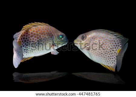 fish breeding/Spinefoots on black background/Golden Spinefoot,Goldlined Rabbitfish, fish breedingGoldlined Spinefoot, Orange-spotted Rabbitfish,/fish feeling swimming - stock photo