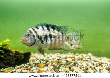 Fish convict cichlid,zebra in aquarium