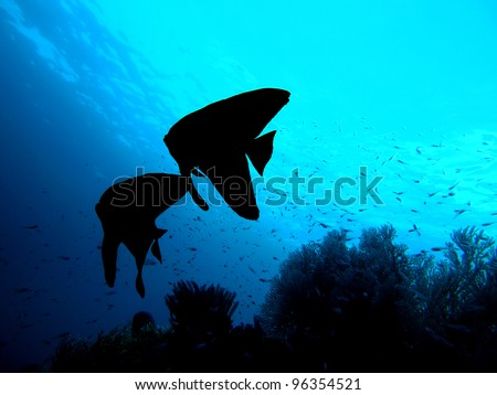 Fish couple silhouette. Longfin Batfish (Platax Teira) in the Indo-pacific ocean, Indonesia. - stock photo