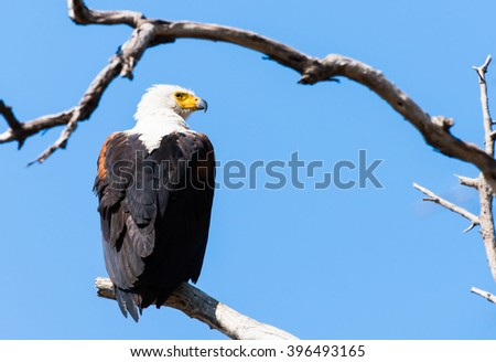 Fish Eagle ( African)  - stock photo