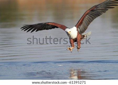 Fish eagle attempting to catch a fish in the Chobe river in Botswana in Southern Africa - stock photo