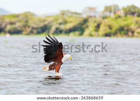 Fish Eagle carrying catched fish in its feet - stock photo