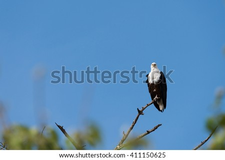 Fish Eagle (Haliaeetus vocifer) perched high on tree limb, Botswana, 2015 - stock photo