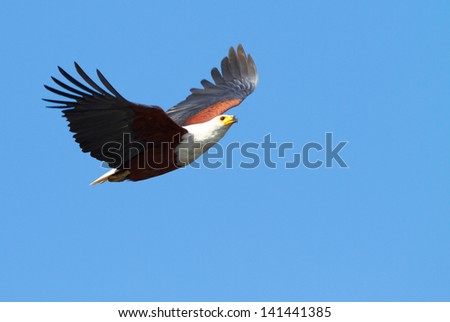 Fish eagle in flight - stock photo