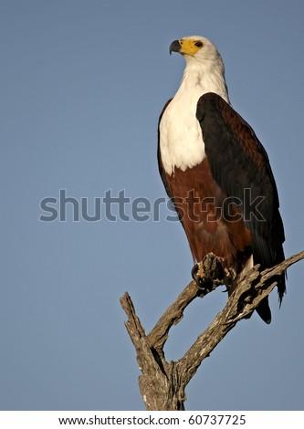 Fish Eagle in tree - stock photo