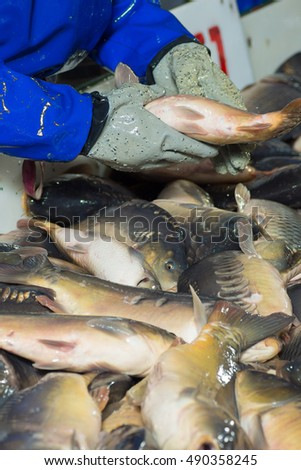 Fish farming, farm for the breeding of carp, pike and sturgeon. Catch biomass and manual sorting of fish.