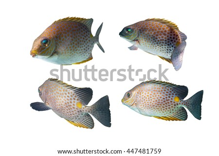 fish feeling swimming fish breeding/Spinefoots on black background/Golden Spinefoot,Goldlined Rabbitfish, Goldlined Spinefoot, Orange-spotted Rabbitfish, - stock photo