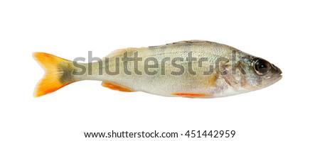 Fish. Fresh raw fish perch isolated on white background  - stock photo