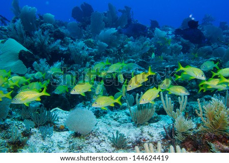 fish from the coral reefs of the mesoamerican barrier. Mayan Riviera, Mexican Caribbean. - stock photo
