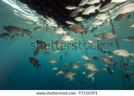 Fish gathering under a floating jetty in the Red Sea.
