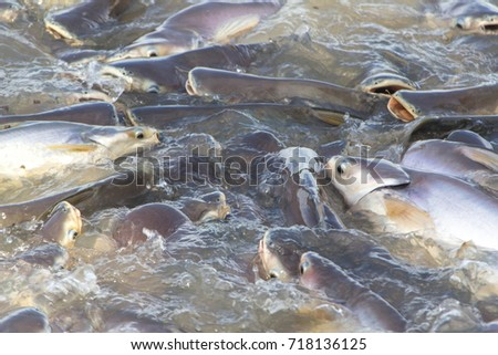 Fish herd In the Chao Phraya River.thailand.