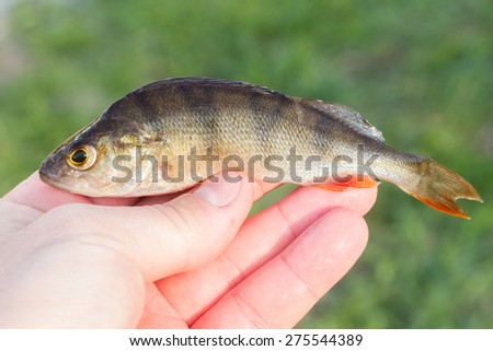 fish in hand - young specimen of european perch - stock photo