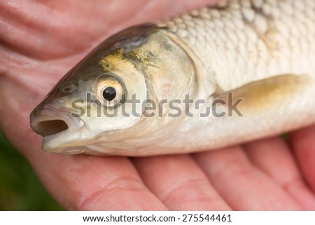 fish in hand - young specimen of grass carp detail of head - stock photo