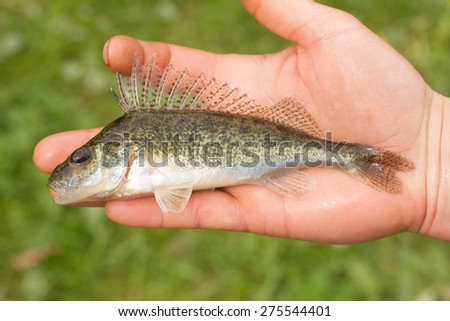 fish in hand - young specimen of ruffe - stock photo