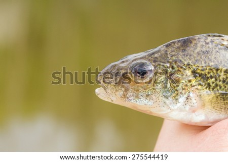 fish in hand - young specimen of ruffe detail of head - stock photo