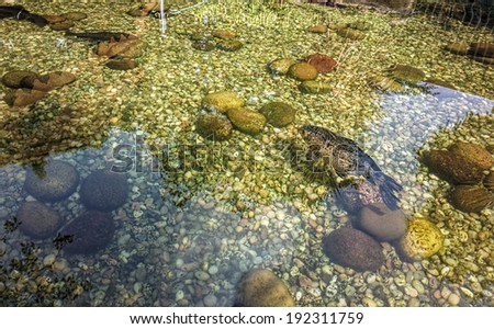 Fish in ultra clear pond. Reflections (including sunlight and vegetation ) in the pond.. Bottom of pool artistically decorated with beautiful stones. - stock photo