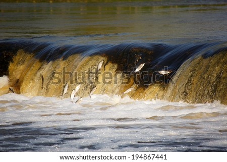 Fish jumping up in waterfall and going upstream for spawning - stock photo