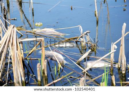 fish killed by near the shore - stock photo