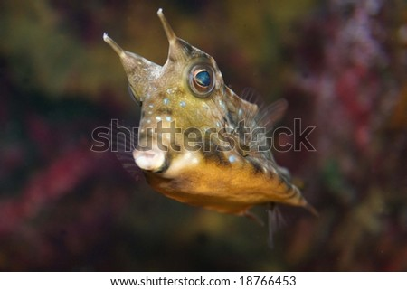 Fish Lactoria cornuta in aquarium, focused on eye