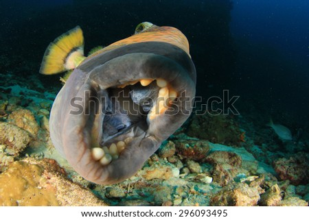 Fish mouth and teeth: Titan Triggerfish - stock photo