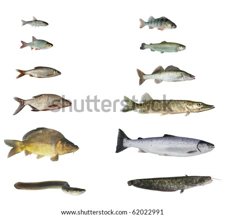 fish of rivers and lakes on white background - stock photo