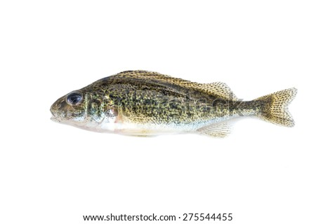 fish on white background - young specimen of ruffe - stock photo