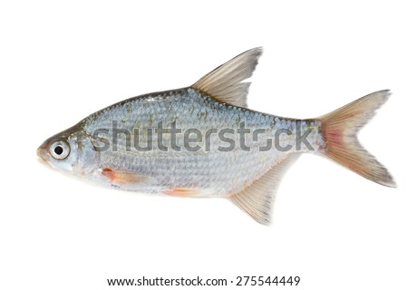 fish on white background - young specimen of white bream - stock photo