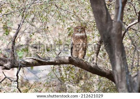 fish owl (ketupa) sitting on a branch looking at camera - national park ranthambore in india rajasthan - stock photo