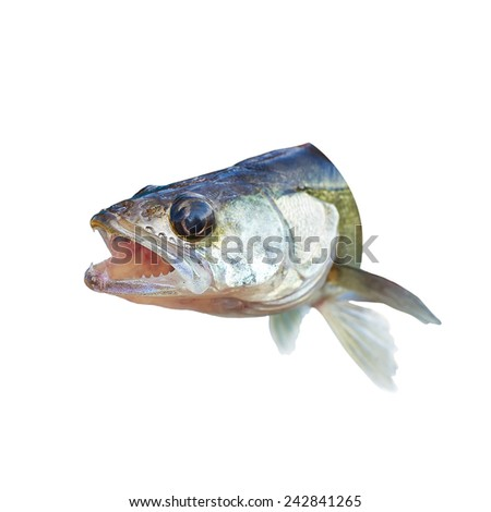 Fish perch with his mouth open - stock photo
